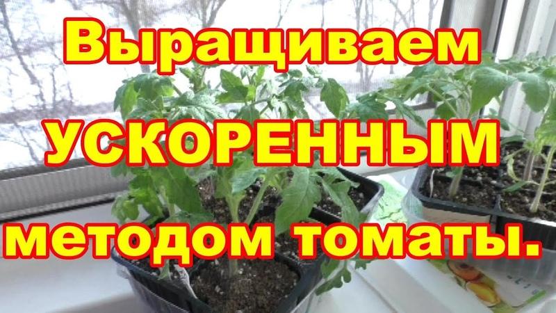 Рассаду томатов выращиваем ускоренным методом