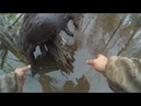Охота на бобра с капканом Hunting beaver with a trap