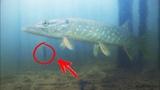 РЫБАЛКА на КРУЖКИ! Ловля ЩУКИ на ЖИВЦА поздней осенью. Подводная Камера Calypso