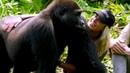 Olha a reação dos gorilas quando homem os apresenta sua mulher
