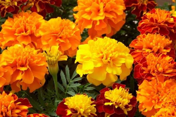 Как и когда сажать бархатцы Бархатцы (или Тагетес) считаются одними из самых популярных цветов в ландшафтном дизайне приусадебных и парковых территорий. Свое латинское название «Тагетес» (или