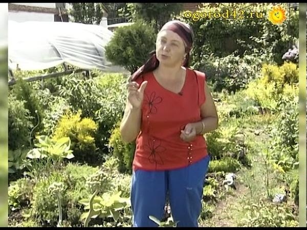 Сколько кустов жимолости высаживать на садовом участке