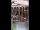 ротный попугай