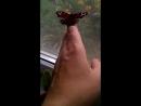 ручная бабочка