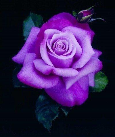 роза,голубая