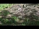 Ящер из Австралии