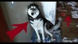 НАКОСЯЧИЛИ СВЕЖАЯ ПОДБОРКА ПРОВИНИВШИХСЯ СОБАК FUNNY DOGS HUSKY PLANET