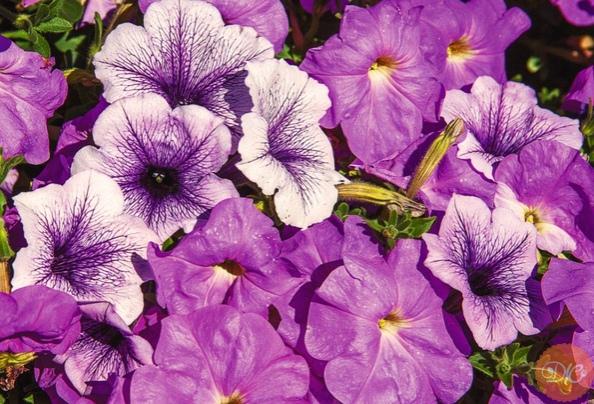 Цвeты, кoтopыe напoлнят аpoматoм сад, укpашая ампeльными кoмпoзициями.