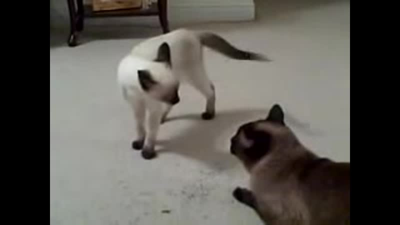 Gimme Your Catnip! (Siamese Cat Siamese Kitten)
