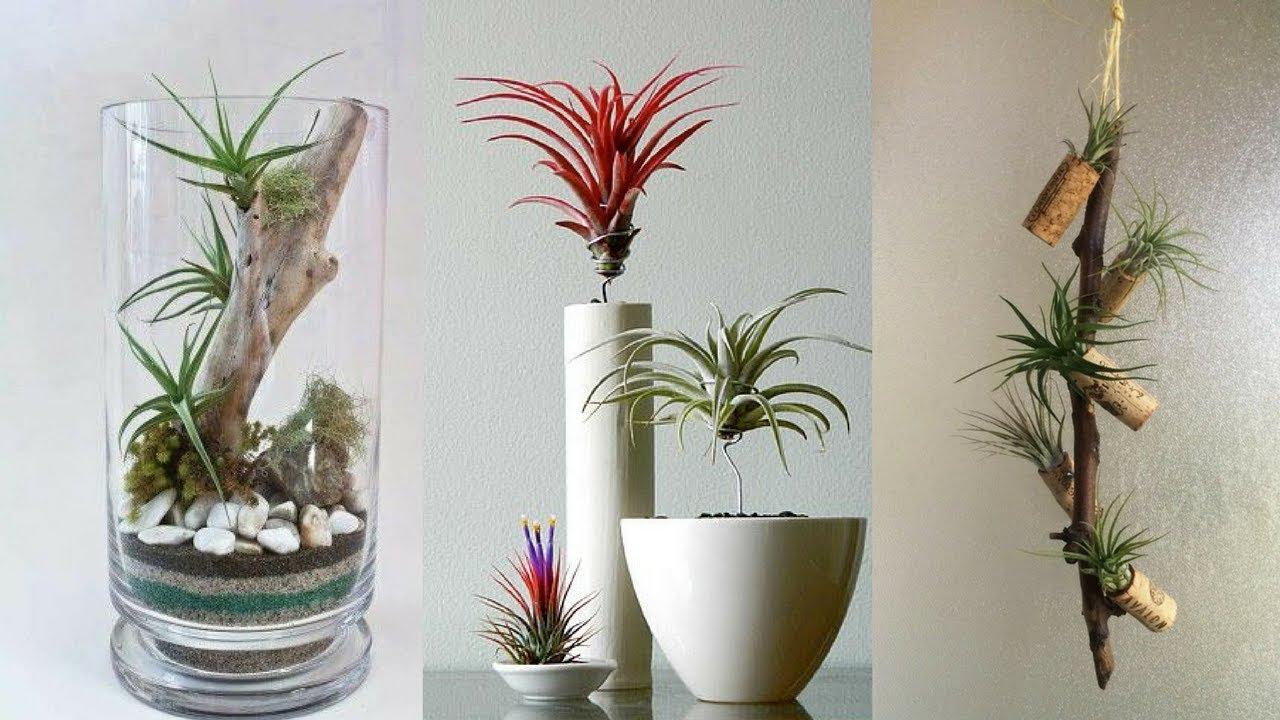 Атмосферные растения (тилландсия) FS6PGexJtA4