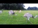 Rhea Americana and Fallow Deers Knowsley Safari Park