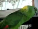 Попугай распевается