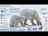 Белый медведь и человек (рассказывает Никита Овсянников)