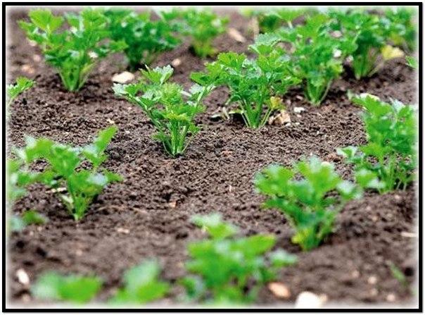 можно ли маргаритки сеять под зиму