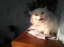 Тигр - альбинос..... пиль, куриль, болель