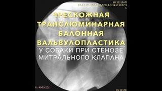 Чрескожная транслюминарная балонная вальвулопластика при стенозе митрального клапана у собаки породы бультерьер