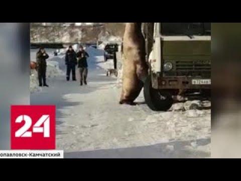 Банда камчатских сивучей ограбила КамАЗ с рыбными отходами - Россия 24