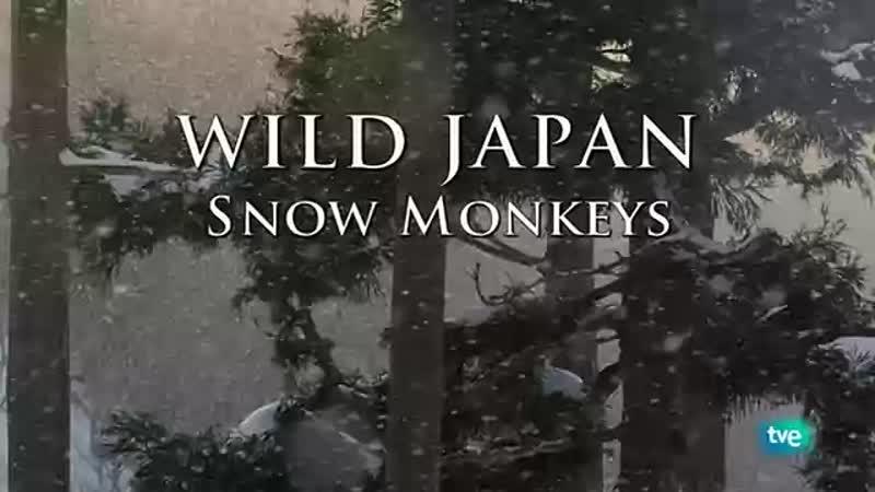 Los monos de las nieves (Japón Salvaje) - Grandes documentales