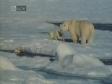 Белый медведь (Юрий Ледин) 1975