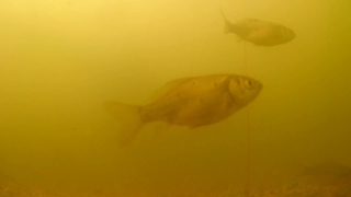 Кормление рыбы, подводное видео! Пруд на участке на даче во дворе для разведения рыбы раков!