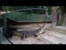 Вадим Черновецкий. -- Кормление крокодила живой птицей в Индонезии