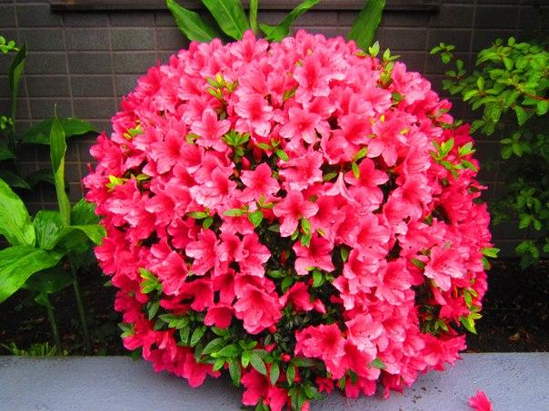 Цветущая Азалия