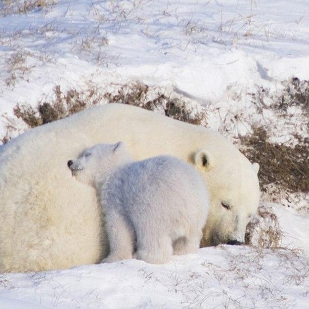 Чудеснейшие полярные мишки.