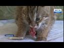 Думали что домашний В Приморье спасли краснокнижного лесного кота