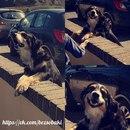 Это собака живет в паре кварталов от школы, каждое утро она приходит…