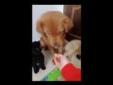 Невиданная щедрость собаки Золото ретривер по кличке Ну-Ну
