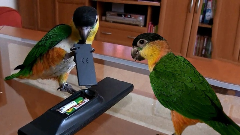 Funny Daily life of lovebird Video