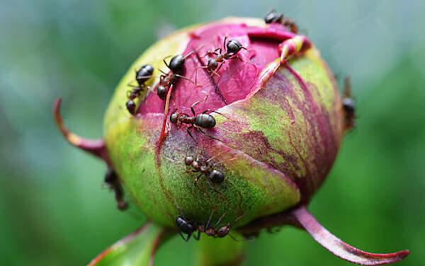 Нужно ли бороться с муравьями на бутонах пиона Существует два противоположных мнения по поводу присутствия муравьев на пионах. Одни садоводы утверждают, что насекомые приносят исключительно