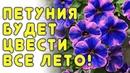Всего одна добавка и петунии пышно цветут все лето!