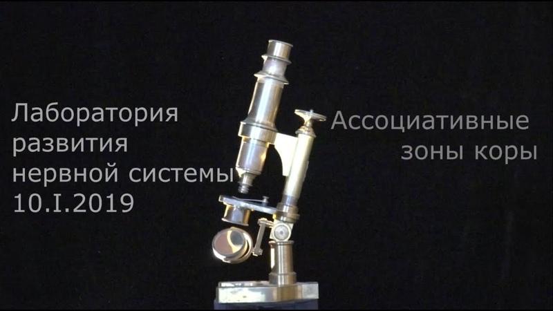 С. В. Савельев об ассоциативных зонах коры