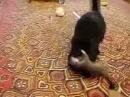 Горностай играет с кошкой :3