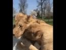 Эта девушка вырастила этих львиц после она вынуждена была отдать их в заповедник Спустя 7 лет она их навестила