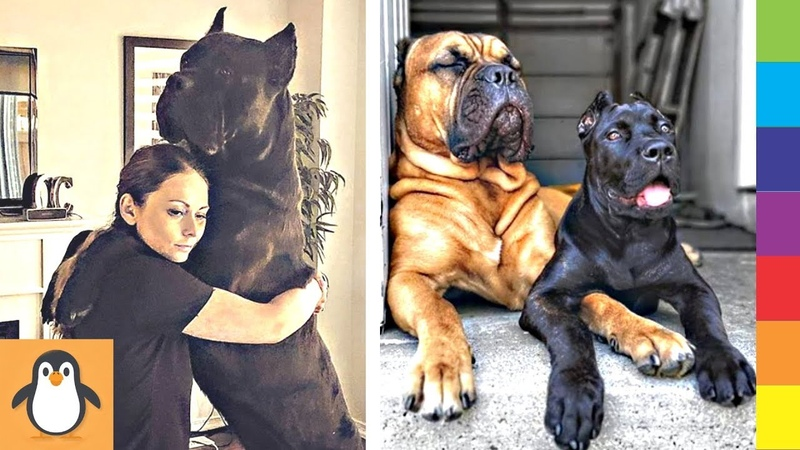 4 Cane Corso Lovers 🔥 Funny and Cute Cane Corso Dogs Videos Compilation