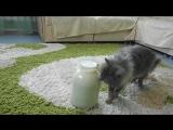 Кот открыл банку с молоком