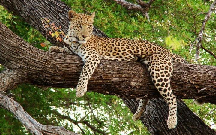 Жизнь Необычного Леопарда. Документальный фильм » Freewka.com - Смотреть онлайн в хорощем качестве
