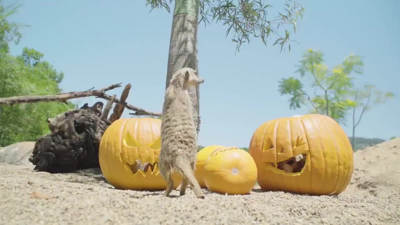 AustraliaZoo family is celebrating with their very own spooky jack-o-lanterns