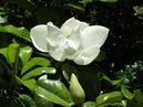 Magnolia grandiflora in boom