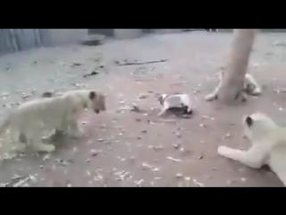 -Щенок попал в вольер со львами-