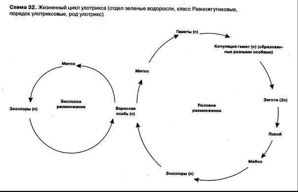 цикл развития папоротника.
