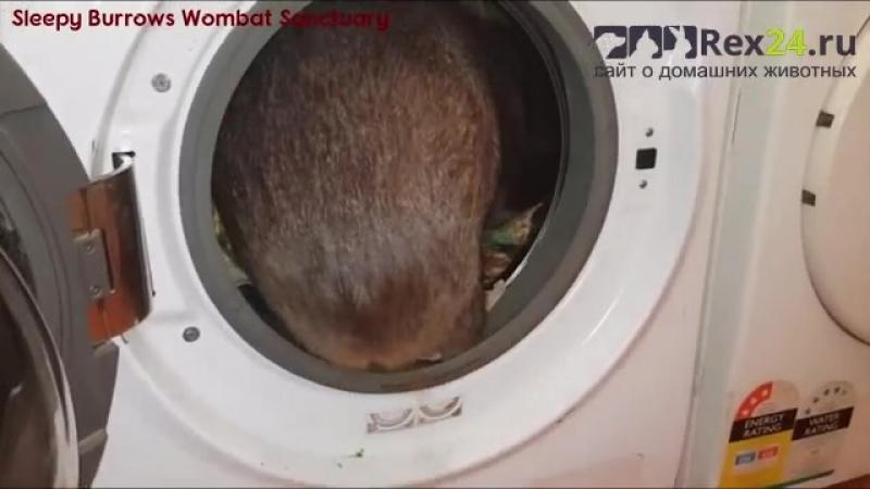 Вомбат из Австралии перепутал стиральную машину с норой