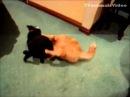 Веселые бои кошек и собак