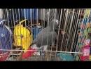 Гейнюк говорящий попугай