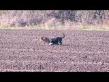 Охота на зайца 2013г. Ноябрь. С борзыми, дворнягами, и ружъём. (4 часть)