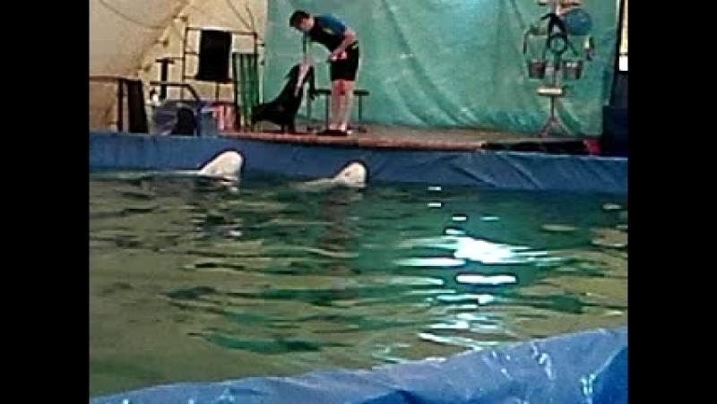 Белые северные дельфины катают морского котика🐋🐳😀