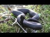 Змея. Гадюка черная в лесу. Встреча со змеёй.mp4