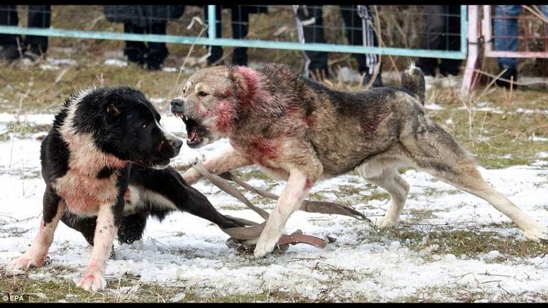 Страшная битва алабаев Алабаи придушил до визга Бои собак